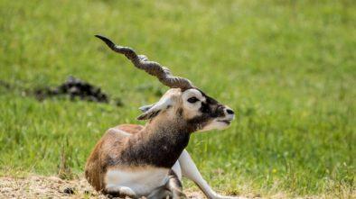 Antilopa jelení v Zoo Ostrava